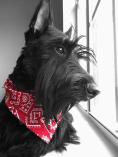 Artist Stephen Kline has collected a variety of dog and people images. Please visit his gallery at drawDOGS.com where you'll find over 110 breeds of dogs drawn from just words, including the Scottish Terrier.
