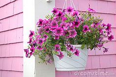 Spiller Plants - Petunia Hanging Basket