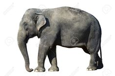 african elephant front - Google Search