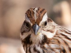 Song Sparrow   The Cruelty of a South Wind » Focusing on Wildlife