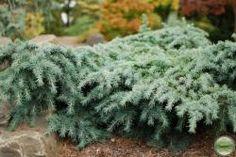 Prostrate Beauty Cedrus Deodara. (Himalayan Cedar)