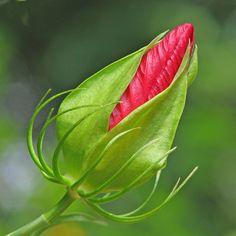 Swamp hibiscus bud