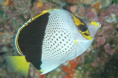 The Hawaiian Butterflyfish, Chaetodon tinkeri, is a member of the family Chaetodontidae of order Perciformes. It is also known as Tinker's Butterflyfish, after Spencer W. Tinker who discovered it in 1949, trapping them in fish traps at 90 feet (27 m) off Oahu, Hawaii.