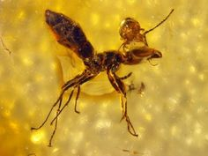 A parasite that bit into an ant's head and rode its host to a sticky doom around 47 million years ago has been preserved in a dime-sized piece of amber.