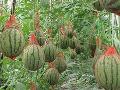 The watermelon hammock- Growing watermelons vertically. Watermelon Hammock, Watermelon Vines, Watermelon Plant, How To Grow Watermelon, Watermelon Farming, Sweet Watermelon, Veg Garden, Fruit Garden, Edible Garden