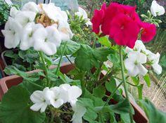 Conservatory geraniums, Oct 23.