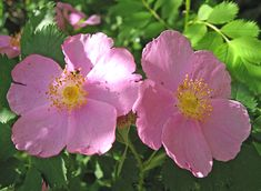 Sun/part shade rose--very simple and old fashioned
