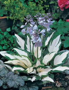 shade garden - Fire and Ice Hosta