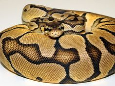 """Pastel morph - High blushing, green or pale eyes, and white lips are also prominent features. All pastels at birth have faded heads but tend to darken up a bit as they get older although some still retain the fade. The pastel also possesses a very clean underside.  The homozygous or super form of the Pastel is a snake that usually retains its yellow coloration, has a more reduced pattern, a considerably faded head and extensive blushing throughout that often takes on a """"purple-haze"""