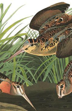 American Woodcock by John James Audubon, Bird Illustration, Illustrations, Botanical Illustration, Audubon Prints, Audubon Birds, Vintage Birds, Vintage Prints, Hunting Art, Power Animal
