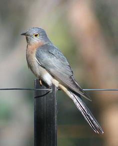 Fan-tailed Cuckoo.jpg