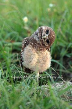 baby burrowing owl .