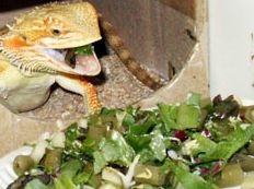 Nutrition Content, this website has a great list of what bearded dragons can and can't eat. need to print this