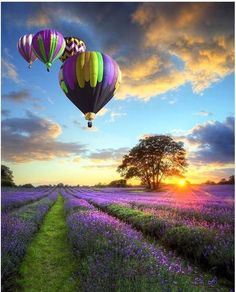 Picture of Beautiful image of stunning sunset with atmospheric clouds and sky over vibrant ripe lavender fields in English countryside landscape with hot air balloons flying high stock photo, images and stock photography. Pretty Pictures, Cool Photos, Beautiful Nature Pictures, Live Photos, Pictures Images, Amazing Photos, Amazing Nature, Nature Photos, Beautiful World