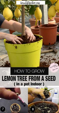 You may think you can only grow lemon trees outdoors in a warm region, but this…