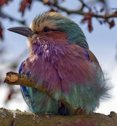 The Lilac-breasted Roller, Coracias caudatus, is a member of the roller family of birds. It is widely distributed in sub-Saharan Africa and the southern Arabian Peninsula.  By Steve.