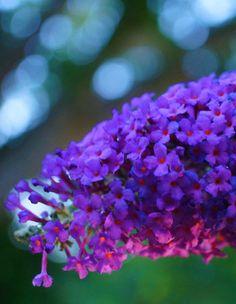 backlit Buddleja (by flora-file) http://flora-file.tumblr.com/post/145212286034/flora-file-backlit-buddleja-by-flora-file