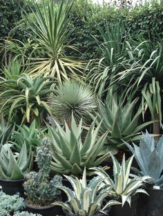PROJECT GREEN SCAPING: Create a fabulous cactus garden with Agave's.