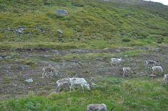 Rendieren op de Noordkaap.