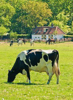 Holland Cow on a Farm, Netherlands