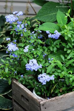 Plumbago - one of the stars of the summer garden. A perennial down South, an annual up North. From houseofhawthornes.com