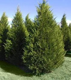 Leyland Cypress is a fast-growing evergreen tree with a pyramidal shape. Suitable for all style decors with lasting durability. Arborvitae Tree, Conifer Trees, Thuja Green Giant, Fast Growing Evergreens, Fast Growing Vines, Emerald Green Arborvitae, Monterey Cypress, Privacy Trees, Specimen Trees