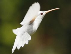 have YOU ever seen an albino hummingbird? me either.... til now!