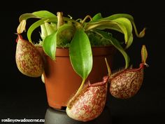 Nepenthes × hookeriana