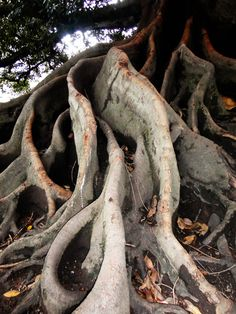Exotic Tree of Buenos Aires #imagineforestnation