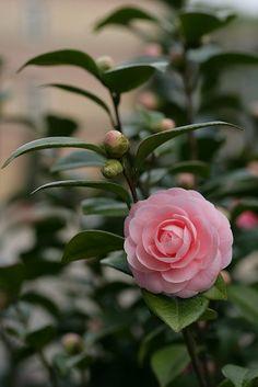 Beautiful Rose Flowers, Amazing Flowers, Pink Flowers, Beautiful Flowers, Camelia Rosa, Camellia Plant, Cactus Planta, Design Floral, Flower Aesthetic