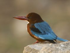 White Throated Kingfisher, Halcyon smyrnensis: found in the wetlands and cities of India, awesome!