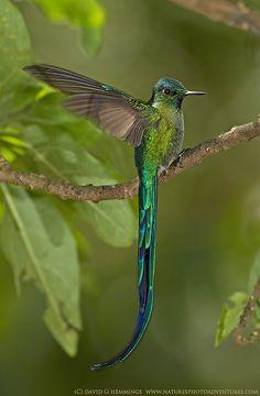 Exquisite ecuadorian hummingbird. http://www.america.de/suedamerika/ecuador                                                                                                                                                     Mehr