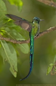 a male long tailed sylph. the male tail feathers are so long it hinders their flight. females, whose tails are more modest, pick out males with the longest tails to mate with