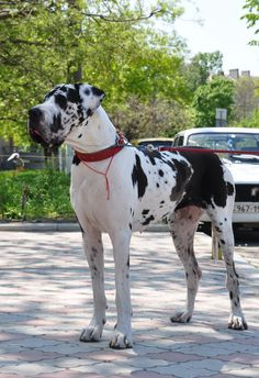 """Outstanding """"great dane puppies"""" detail is readily available on our internet site. Read more and you wont be sorry you did. Cute Dogs Breeds, Large Dog Breeds, Great Dane Puppy, New Puppy, Big Dogs, I Love Dogs, Harlequin Great Danes, Dane Puppies, Beautiful Dogs"""