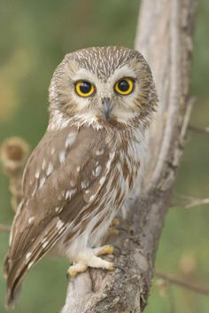 Northern Saw-whet owl, one of smallest owls, perching in the wild.