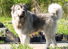 The Caucasian Shepherd Dog