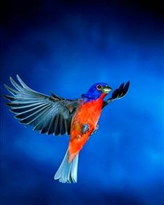 Painted bunting, male, in Flight, Immakolee, Florida Blue Bunting, Painted Bunting, Fine Art Prints, Framed Prints, Poster Prints, Canvas Prints, Glass Birds, Pet Birds, Picture Photo
