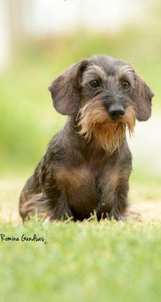 Dachshund #Puppy #Dogs