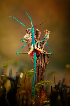 Stick insect (Achrioptera fallax) in mysteryland...
