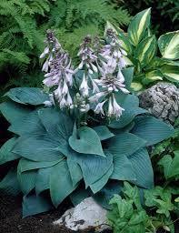 HOSTA tardiana 'Halcyon' - Funkia, farve: lilla/blåligt løv, lysforhold: halvskygge/skygge, højde: 40 - 60 cm, blomstring: juli - august, god til bunddække, velegnet til snit.