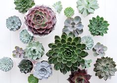 Buy hen and chicks succulent Echeveria starter collection: Delivery by Waitrose Garden in association with Crocus Suculent Plants, Potted Plants, Garden Plants, Indoor Plants, Echeveria, Planting Succulents, Planting Flowers, Steep Gardens, Belle Plante