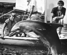 """Bebe, the last of seven dolphins who played """"Flipper,"""" died at the age of The """"Flipper"""" series, which ran from 1964 to employed seven dolphins to play the lead roll. Dolphin Family, Old Shows, Vintage Florida, Great White Shark, Cat Colors, Music Photo, Classic Tv, Classic Movies, Suzy"""