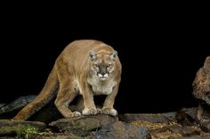 10 Things You Didn't Know About Cougars [15 pics ...