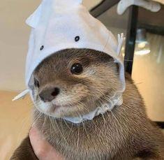 Cute otter wearing a squid hat, enjoy Otters Cute, Cute Ferrets, Baby Otters, Otters Funny, Baby Sloth, Baby Animals Pictures, Cute Animal Pictures, Cute Little Animals, Cute Funny Animals