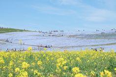 Nemophila Hitachi Seaside Park Rainbowholic Japan Kawaii 32