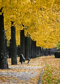 """verabeert: """" Autumn carries more gold in its pocket than all the other seasons. (Photo: Autumn over The 'Apollolaan' or Apollo Avenue- a street in Amsterdam, Netherlands. The street is. Beautiful World, Beautiful Places, Beautiful Pictures, Parks, Seen, Autumn Trees, Autumn Leaves, Golden Leaves, Mellow Yellow"""