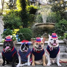 French Bulldogs, @fivefabulousfrenchies on instagram #fourthofjuly #independenceday #usa #frenchies1 #frenchbulldogs #frenchies #fabulousfrenchies #tongueouttuesday #dogslife #instafrenchie #instagram #theellenshow #squishyfacecrew #dogsofinstagram