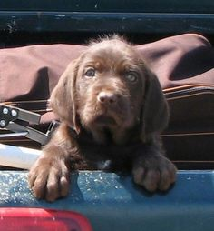 A dark brown with white Pudelpointer puppy is standing up against the side of a blue Dodge pick-up truck bed peering over the edge.