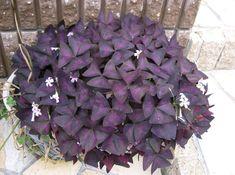 Genre : Oxalis - Espèce : triangularis - Famille : Oxiladacées - Origine : Amérique du sud - L'Oxalis pourpre est une plante vivace à...