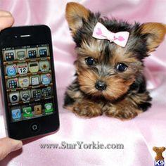 Tiny Teacup Yorkie Puppies Avaialble around Los Angeles, Orange County, San Diego California